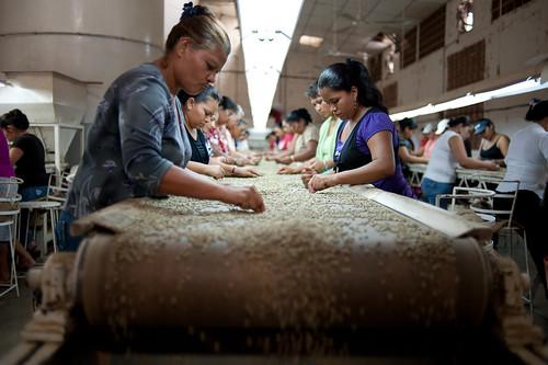 coffee bean elsalvador santaana commodity cooperativa cuzcachapa