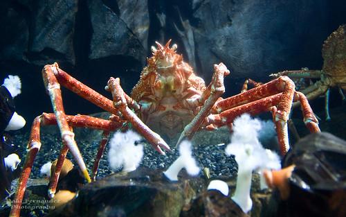 atlanta japan georgia aquarium taiwan kagoshima iwate georgiaaquarium tokyobay honshu spidercrab japanesespidercrab iwateprefecture kagoshimaprefecture spidercrabjapanese