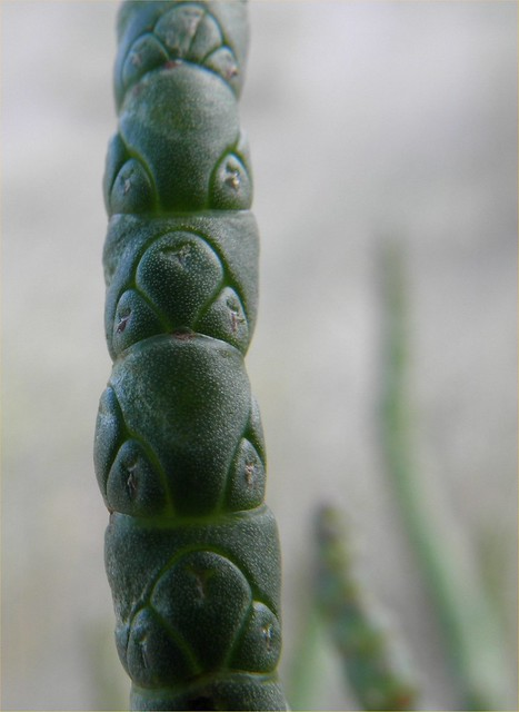 Salicornia procumbens (Procumbent glasswort / Langarige zandzeekraal) P9010445