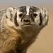 1110_1083 Badger by wild prairie man