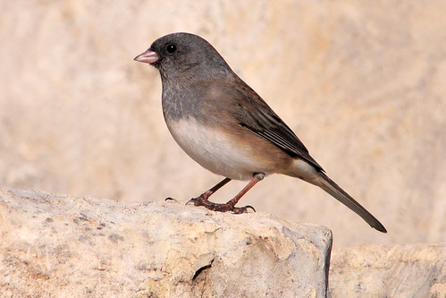 Dark-eyed Junco, maybe female