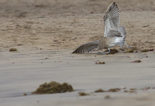 whimbrel crash land