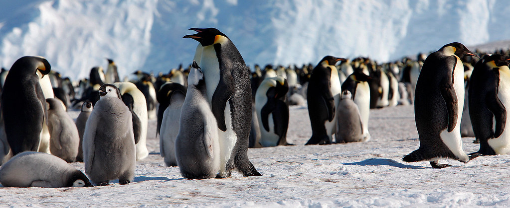 19 November-Emperor penguins rookery