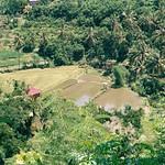Rice fields in Munduk