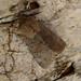 Small photo of Lead coloured Drab. Orthosia populeti.