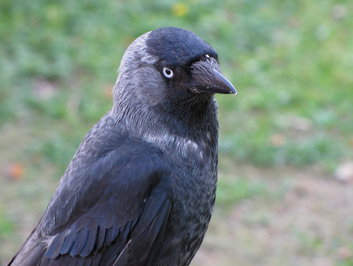 Га́лка — широко распространённая птица рода во́ронов. Википедия  Photo by Kari Pihlaviita on Flickr Автор фото: Kari Pihlaviita
