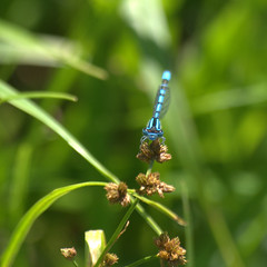 Damselfly 1 by theexileinny