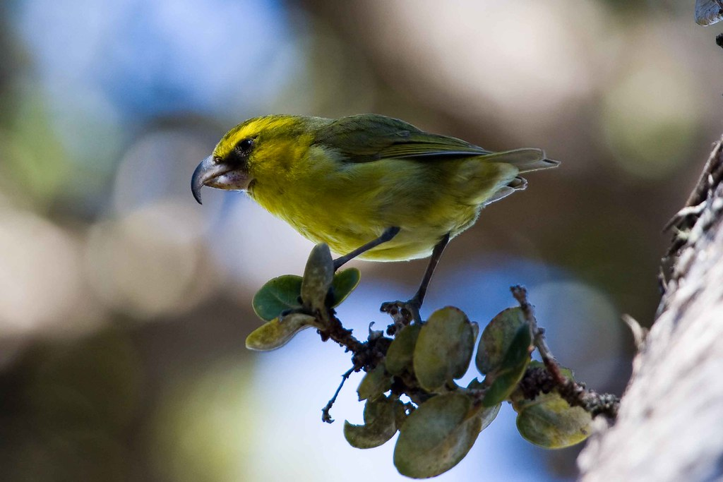 Maui forest bird recovery project maui forest bird for Birds project