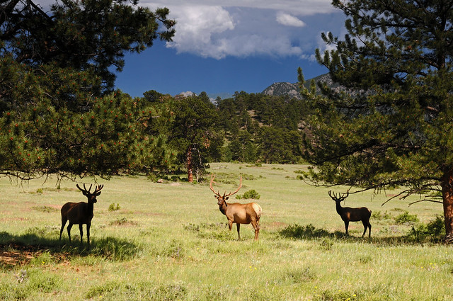 Three Elk