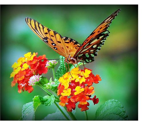 Butterfly Enjoying The Lantana On A Warm Summer Day ...