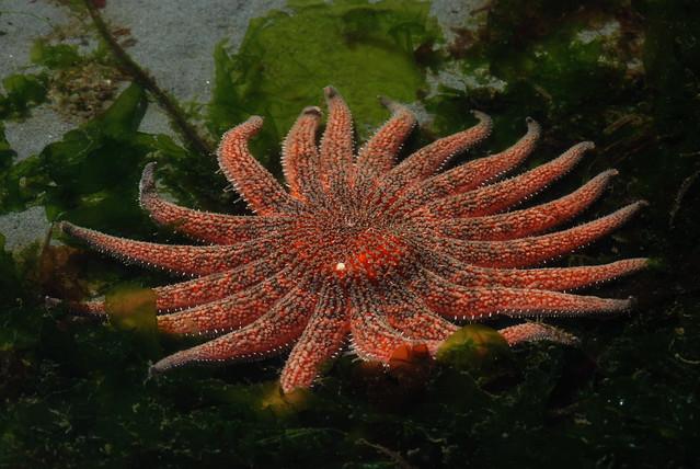 How long do seastars live?