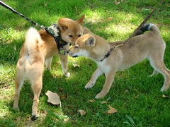 taro greets a very young shiba pup with an awesome tail