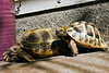 "<a href=""http://www.flickr.com/photos/carnifex82/5977774657/"">Photo of Testudo horsfieldii by carnifex82</a>"