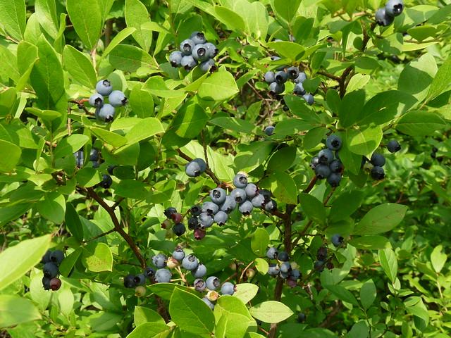 Wild blueberries in the Pine Barrens. Photo by Lauren Deutsch.