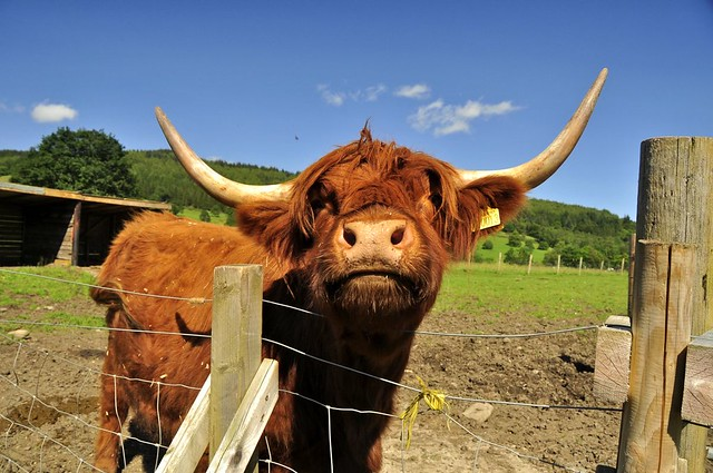 Highland Cattle, the ROCKSTAR of all Cattle