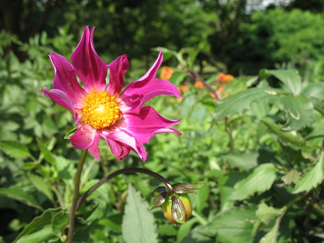 Dahlia coccinea 'Mixed Colors' blooms in the Annual Border. Photo by Dave Allen.