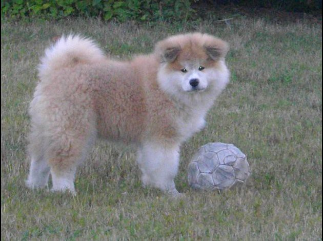 Pin Long Haired Akita Pictures On Pinterest