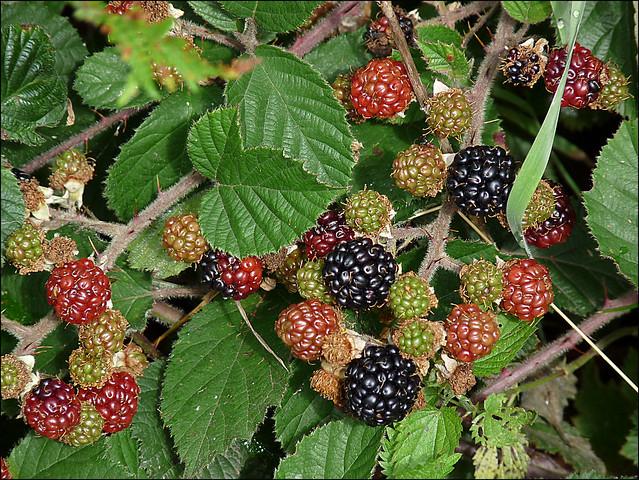 """Blackberries - Rubus """"fruticosus"""""""