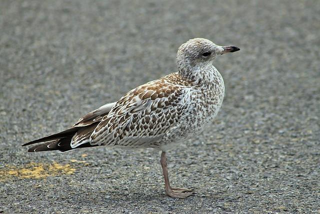 Female seagull - photo#6