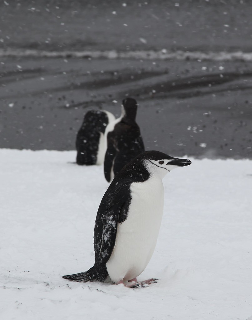 Chinstrap Penguin with snow in its mouth