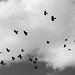 Choughs in flight (Sergio Padura)