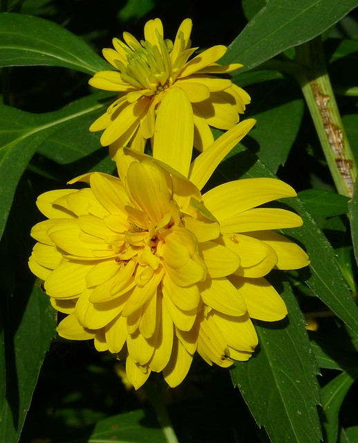 20110812 Rudbeckia laciniata 'Goldquelle'