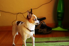 puppy(0.0), norwegian lundehund(0.0), dog breed(1.0), animal(1.0), dog(1.0), pet(1.0), mammal(1.0), toy fox terrier(1.0), basenji(1.0),