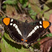 Small photo of California Sister (Adelpha californica)