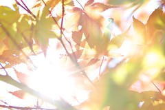 Sunbeam leaves.