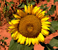 sunflower seed(0.0), field(0.0), vegetarian food(0.0), autumn(0.0), asterales(1.0), annual plant(1.0), sunflower(1.0), flower(1.0), yellow(1.0), plant(1.0), flora(1.0), petal(1.0),