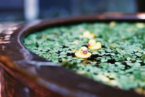 小鴨子戲水