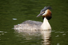 Great Crested Grebe, Mere Sands Wood, July 2011