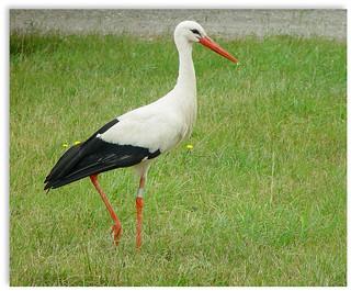 Storch in Frankreich