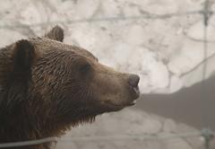 polar bear(0.0), animal(1.0), mammal(1.0), grizzly bear(1.0), fauna(1.0), brown bear(1.0), bear(1.0),
