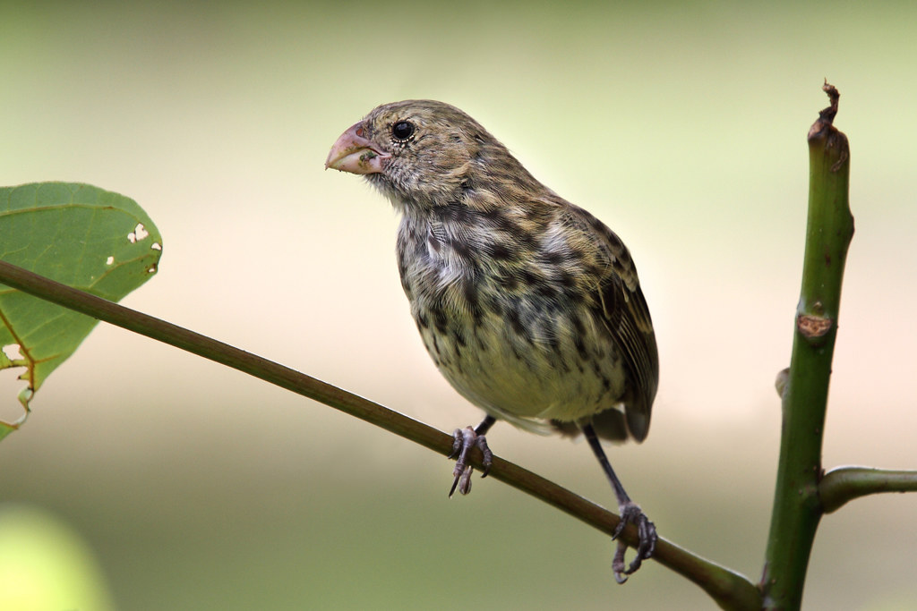 Vegetarian finch - Wikipedia