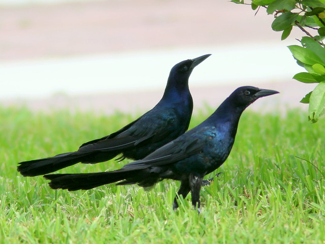 Boat-tailed Grackles 20110729