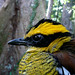 Male Bornean banded pitta - a complete stunner  Photo Credits: David Andrews