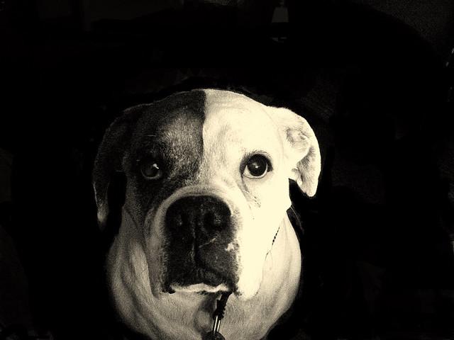 Sepia Bulldog