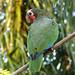 Cuban Parrot (A Kirkonell)