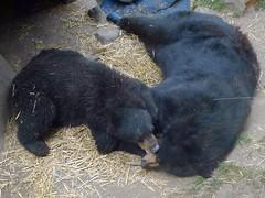 animal, american black bear, pet, mammal, bear,