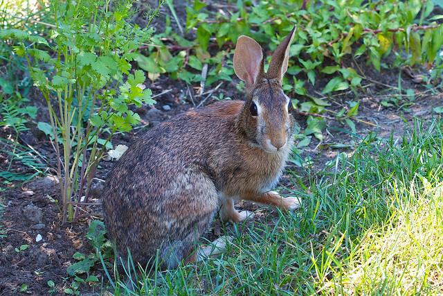 Wild Backyard Rabbits : Rabbit in the Garden  Flickr  Photo Sharing!