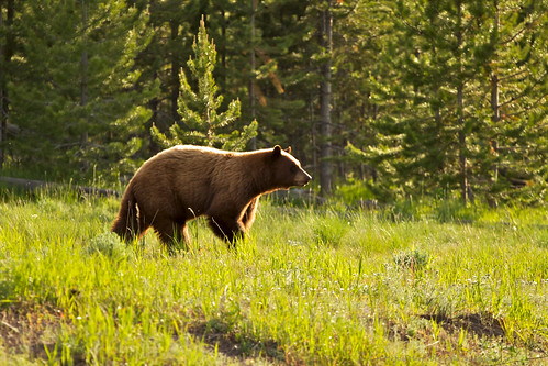 A Grizzly Bear in the Woods | ok. it isn't in the woods ...