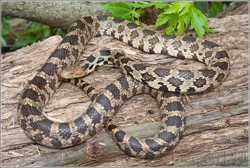 Fox Snake (Pantherophis vulpinus)