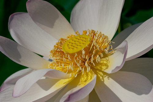 summer flower macro japan lotus july saitama crazyshin 2011 gyoda nikond3 古代蓮の里 行田 makroplanart2100zf dsa8715