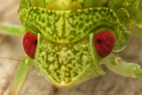 Planthopper - Acanalonia servillei _0031