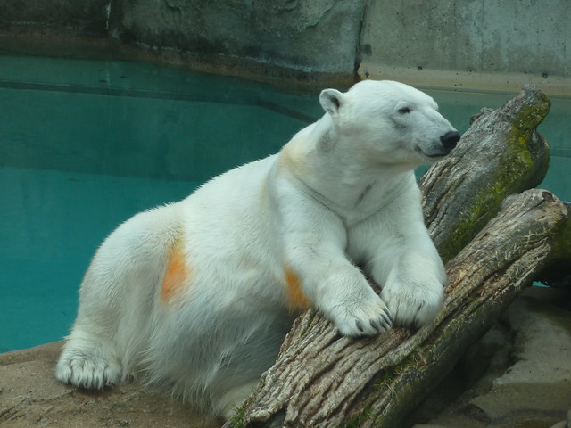 Orange polar bear