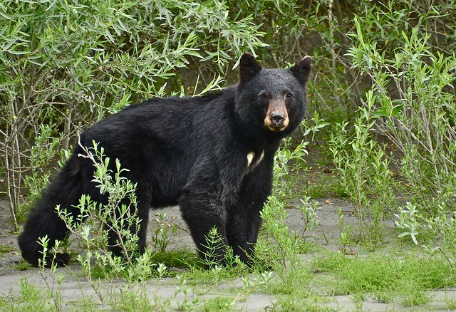 Woooooo - Klamath Bear