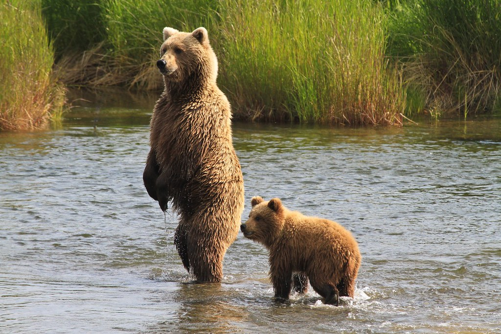 Cub with Mother Brown Bear