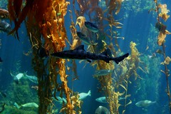 coral reef(1.0), algae(1.0), seaweed(1.0), fish(1.0), macrocystis pyrifera(1.0), macrocystis(1.0), marine biology(1.0), underwater(1.0), reef(1.0), kelp(1.0),