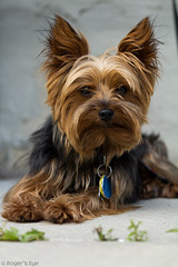 dog breed, animal, dog, pet, australian silky terrier, norfolk terrier, mammal, biewer terrier, norwich terrier, morkie, cairn terrier, australian terrier, yorkshire terrier, terrier,